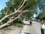 Dapatkan Informasi Pohon Tumbang, Polsek Losarang Segera Lakukan Evakuasi